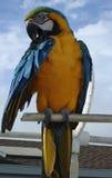 Bunter Papagei, der auf Stange sitzt Stockfotografie