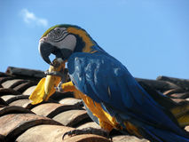 Bunter Papagei, der Bananenfrucht isst Lizenzfreie Stockfotos
