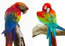 Bunter Papagei lokalisiert im weißen Hintergrund Lizenzfreie Stockfotos