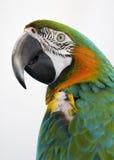 Bunter Papagei mit weißem Hintergrund Stockfoto