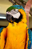 Bunter Papageiennahaufnahmeschuß Lizenzfreies Stockfoto