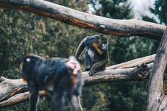 Bunter Pavian im Wald lizenzfreies stockfoto