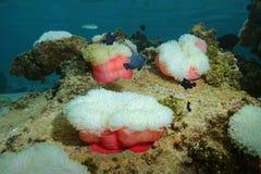 Bunter Pazifischer Ozean Anemonen des Meeresflora und -fauna See lizenzfreie stockfotografie