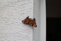 Bunter Pfau-Schmetterling Stockfoto