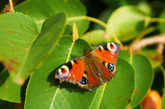 Bunter Pfauschmetterling auf grünen Blättern lizenzfreies stockfoto