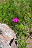 Bunter rosa Wildflower auf einem Gebiet Stockbild