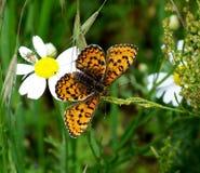 Bunter Schmetterling auf Gänseblümchenblume Lizenzfreie Stockbilder