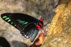 Bunter Schmetterling auf Leckstein Stockfotografie