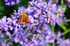 Bunter Schmetterling auf levander Blüte Stockbild