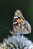 bunter Schmetterling auf weißer Blume Stockfoto