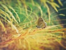 Bunter Schmetterling auf Weizen stockfotografie