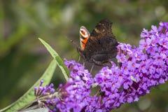 Bunter Schmetterling, der Blütenstaub von Blume budleje sammelt Stockbilder