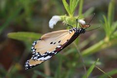Bunter Schmetterling, der Honig in der Blume saugt Lizenzfreie Stockfotos
