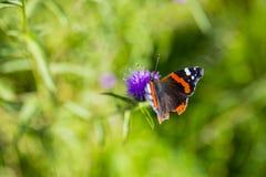 Bunter Schmetterling des roten Admirals auf Centaurea Scabiosa-Flockenblume f stockbild