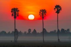 Bunter Sonnenaufgang auf dem Reisgebiet mit Arengapalmebaum Stockbilder