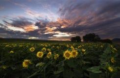 Bunter Sonnenuntergang über der Sonnenblumenwiese stockfotografie