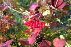 Bunter Viburnumbusch mit roten Beeren auf Niederlassung im Herbst Stockbilder
