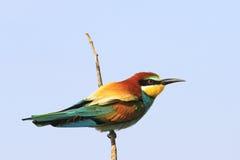 Bunter Vogel auf einem Zweig Stockfoto