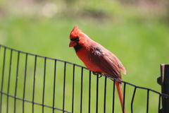 bunter Vogel, der auf dem Zaun sitzt, um vorzubereiten, um zu fliegen Lizenzfreies Stockfoto