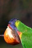 Bunter Vogel, der einen Apfel isst lizenzfreies stockfoto