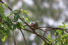 Bunter Vogel Emerald Doves, der Frucht auf dem Baumast schaut a isst Lizenzfreies Stockbild