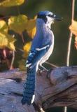 Buntes allgemeines Blue Jay unter Fallblättern Stockfotografie