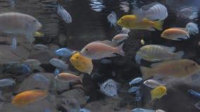 Buntes Aquarium, die verschiedenen schwimmenden Fische zeigend Schöner Hintergrund der Unterwasserwelt stock video