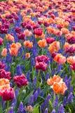 Buntes Bett der Tulpen und der Hyazinthen lizenzfreies stockfoto
