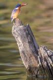 Buntes Bild des Malachiteisvogels mit Fischen in seinem Schnabel Stockfoto