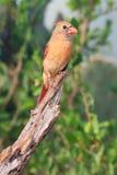 Buntes Bild des weiblichen Kardinals Stockfotografie