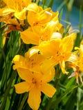 Buntes Blühen des Daylily im Garten nahe Moskau lizenzfreie stockfotografie