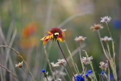 Buntes Blanketflower auf dem Gebiet Lizenzfreie Stockfotos
