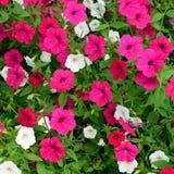 Buntes Blumenbeet der Pfingstrosen-(Paeonia) Stockbilder