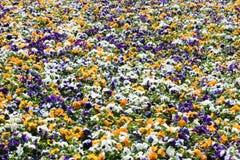 Buntes Blumenbeet gemacht von den weißen, orange und purpurroten Pansies Stockfoto