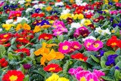 Buntes Blumenbeet mit Zusammenstellung von Primeln Lizenzfreie Stockfotografie