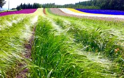 Buntes Blumenfeld am Bauernhof Tomita in Bereich Furano Biei von Hokkaido Japan Lizenzfreies Stockbild
