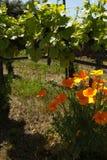 Buntes Blumenwachsen unter Reben an einem Weinberg Stockbild