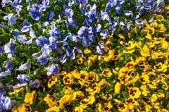 Buntes diagonales Blumenbeet gemacht von den blauen und gelben Pansies Stockfotografie