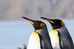 Buntes Duo Königs Penguins im Schnee Stockfotos