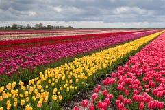 Buntes Feld mit Reihen der Tulpen Lizenzfreie Stockfotos