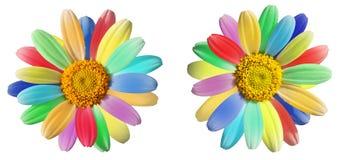 Buntes Gänseblümchen in den Regenbogenfarben Stockfotos