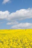 Buntes gelbes Rapsfeld, Kohl napus, unter einem Esprit des blauen Himmels Stockbild