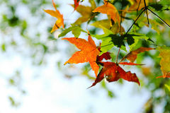 Buntes Herbst-Ahornblatt Stockfotografie