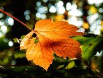 Buntes Herbst-Ahornblatt Stockfotos