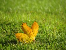 Buntes Herbstblatt unter grünem Gras stockbild