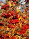 Buntes Herbstblatt unter roten Beeren Stockbilder