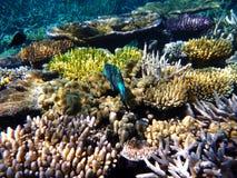 Buntes Korallenriff mit einer tropischen blauen Fischschwimmen im Great Barrier Reef lizenzfreie stockfotografie