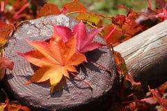Buntes Laub der Herbstahornblätter lizenzfreies stockbild