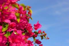 Buntes Makro blüht Hintergrund mit blauem Himmel Leicht rosa Blumen Abschluss oben Blüht Hintergrund mit einem Kopienraum Lizenzfreie Stockfotos