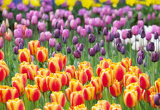 Buntes Meer der schönen Tulpen lizenzfreies stockbild